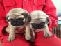 中国较大双血统八哥犬繁殖基地 可实地考察