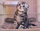 猫舍出售折耳猫 幼猫出售 包健康 可以上门