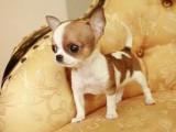 科学繁育 墨西哥袖珍吉娃娃犬 极品幼犬待售
