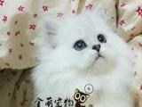 波斯猫体格健壮、有力,躯体线条简洁流畅波斯猫体格健