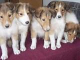 优质纯种苏格兰牧羊犬 边境牧羊犬 喜乐蒂牧羊犬 自家养殖