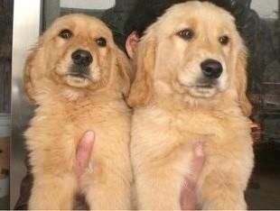 本地犬舍出售纯种金毛包纯种健康签协议送货上门