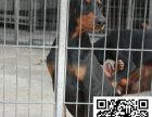 张家界杜宾犬多少钱张家界杜宾犬出售张家界哪能买到纯正的杜宾犬
