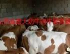 出售肉牛西门塔尔小牛犊山西省忻州国营养殖场