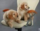 金毛幼犬出售,有多只可以挑选,纯种健康