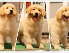 您忠实的爱犬,美系大爪金毛,金光闪闪,纯种健康