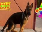 纯种德国牧羊犬质量保证健康保证 包养活