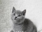出售纯家庭繁殖纯种英短蓝猫 短毛猫 无病无癣包健康