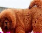 藏獒幼犬可来场挑选纯血统纯正红獒铁包金獒都有