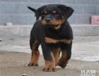 精品血统 罗威纳犬纯种狗狗 保纯保健康 签订售后协