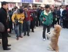 训练完听话马犬