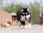 阿拉斯加犬性格忠实活泼 充满活力,忍耐力强