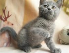 纯种的蓝猫多少钱一只