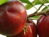 独家直销山东桃树新品种、中农金辉桃树苗