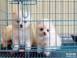 苏州哪儿有家养博美幼犬免费找领养 自家博美狗狗找爱狗人士