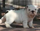 中国专业繁殖双血统法国斗牛犬犬舍 可以上门挑选
