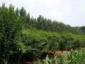 木槿花出售,可供绿化,生长迅速,价格优惠