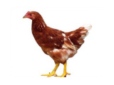 想买优质青年鸡,就到河南益隆 青年鸡价格