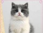 《本地猫舍》繁殖精品英短蓝猫 渐层《同城送货上门》
