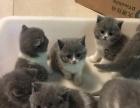 家养蓝白英短猫公母一窝低价转让