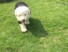临沂 纯种可爱古牧幼犬 白头通背 四蹄踏雪 包健康