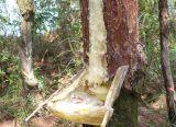批发广西天然野生松脂,松香,松树油,松香树脂