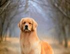 金毛犬宠物幼犬出售赛级纯种导盲犬巡回犬活体长毛狗狗