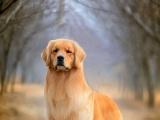 花容月貌 可爱俏皮 人见人爱宠物狗 拉布拉多幼犬