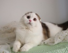 純種健康 漂亮可愛溫順 蘇格蘭折耳貓
