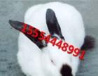 常年出售肉兔种兔,幼兔,獭兔种兔 杂交野兔等欢迎咨询