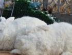 今天长毛兔价格出售长毛兔种兔獭兔肉兔品种齐全