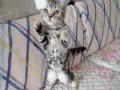 五个月银虎斑猫一公一母,找新家