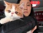 南充酷宠宠物店现货出售纯种加菲猫宝宝一窝