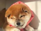 柴犬多少钱,柴犬图片