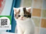 南阳哪里卖加菲猫 南阳哪里有宠物店 南阳哪里卖宠物猫便宜