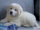 出售纯种巨型犬大白熊宠物狗狗大白熊幼犬双血统纯正大白熊宠物狗