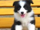 纯种边境牧羊犬价格 广州哪里有卖边牧幼犬 疫苗齐包健康