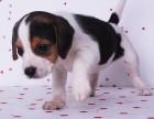 北京犬舍出售热卖纯种比格幼犬全国发货包健康