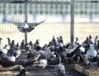 河北小贾常年有成绩鸽公棚赛鸽俱乐部获奖鸽