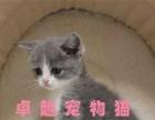 杭州猫舍出售英国短毛猫 蓝白 正八粉鼻头可送货上门