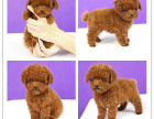 犬舍直销超小体玩具茶杯泰迪犬 品质保终身 可签协议