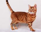 家庭式猫舍正规繁育的纯种孟加拉豹猫疫苗已做保健康