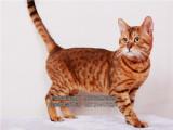 非常漂亮的豹猫宝宝找新家弟弟妹妹均有欢迎选购