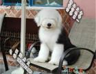 家养纯种古代牧羊犬便宜出售了 喜欢的可以加我详聊