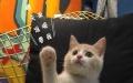 家庭繁殖各类品种猫猫