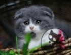 北京最大猫舍 直销加菲 蓝猫 虎斑