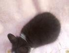【上海当然提】自家繁殖宠物兔猫猫兔(串)