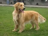 懷化純種健康德牧犬 包健康協議質保
