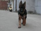 牧羊犬一只钱 里可以买到德国牧羊犬