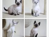 暖手宝加菲猫 眼鼻一线 性格温顺粘人性价比高
